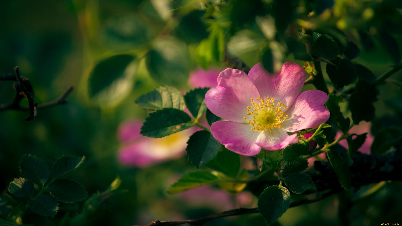 картинки красивого леса цветы колючий шиповника это